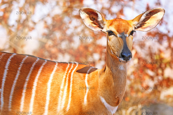 Nyala, weiblich, Majete Wildlife Reserve, Malawi, (Equus quagga) | Nyala, female, Majete Wildlife Reserve, Malawi, (Nyala angasi)