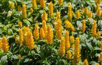 Flower Pachystachys lutea