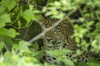Indian leopard,  Panthera pardus fusca, Jhalana, Rajasthan, India.