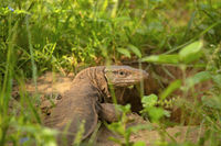 Bengal monitor,Varanus bengalensis, Jhalana, Rajasthan, India. This is  found widely distributed over the Indian Subcontinent