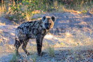 Spotted hyena, Botswana Africa wildlife