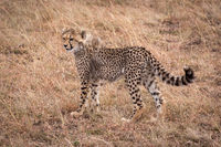 Cheetah cub standing in grass looking left