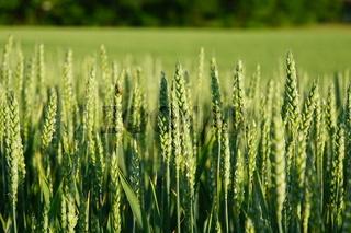 Weizenfeld wheat field