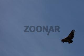 Condor flying  in Peru