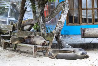 Schlafende Galapagos Seelöwen (Zalophus wollebaeki), Insel Isabela, Galapagos Inseln, Ecuador