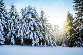 Pine trees with snow in winter and sun. Winter background.