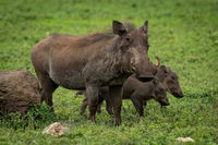 Warthog mother with two babies beside rock