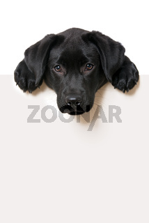 Labrador retriever puppy looking over a wall