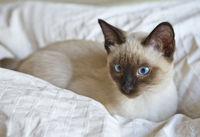 cat sleek haired (Mekong bobtail