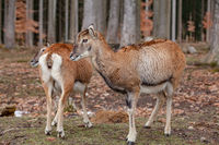 European mouflons in the German forest