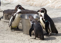 Pinguin is being fed