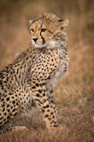 Close-up of cheetah cub sitting in grassland