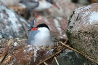 Common tern (Sterna hirundo) is sitting on the nest