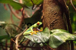 Red-eyed tree frog Agalychnis callidryas rest on a leaf