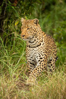 Leopard lifts paw to walk in grass