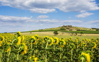 Field of sunflowers with rock on a hill in Burgenland