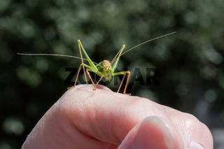 Speckled Bush Cricket Male on hand during summer.