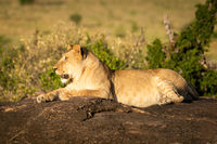 Lioness lies on rock with mouth open