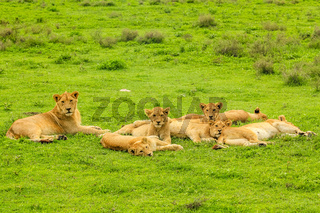 herd of lions on grass
