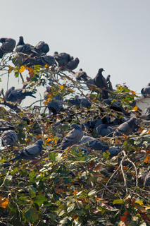 Multiplication blue rock pigeons