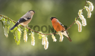 female and male bullfinch on a willow branch