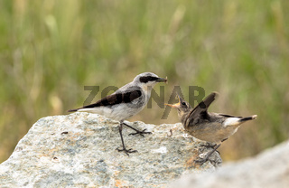 Northern wheatear, Oenanthe oenanthe, a male bird in breeding plumage, about to feed its young fledgling with an insect.