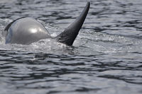 Killer whale at the moment of immersion in the waters of the Pacific Ocean