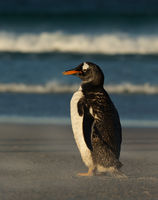 Gentoo penguin standing on a sandy beach