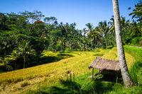 Paddy field in Gunung Kawi temple, Ubud, Bali, Indonesia
