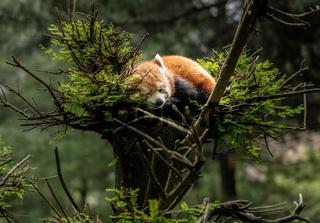 Red Panda asleep in tree