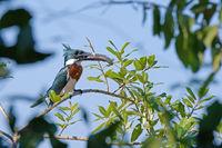 Male Amazon Kingfisher, Chloroceryle Amazona, sits on the branch with a fish in its beak, Porto Jofre, Pantanal, Brazil