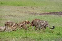 Cheetahs on a kill, Maasai Mara, Kenya, Africa.
