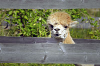 Curious Young Alpaca Peeks Through Fence