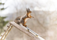 red squirrel is standing on an Skateboard