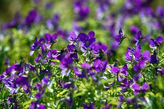 Blue marine violet (Viola odorata maritima) in middle of summer