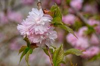 Hill Cherry, Prunus serrulata