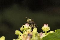 Bee, Aarey milk colony Mumbai , India