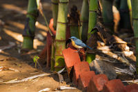Tickell's blue flycatcher, Cyornis tickelliae, Ranthambore national park, Rajasthan, India.