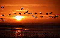 Gaense bei Sonnenaufgang