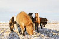 A group of Icelandic horses in the snow