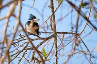Female Amazon Kingfisher, Chloroceryle Amazona, sits on the branch, Porto Jofre, Pantanal, Mato Grosso, Brazil