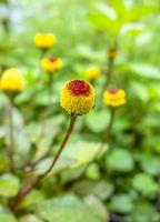 paracress flower heads