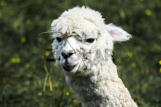 weisses Alpaka mit Grashalm an der Nase
