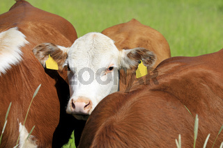 Portrait of Young Cow