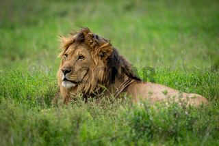 Male lion lying in grass looking left