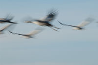 Common cranes (Grus grus) flying. Gallocanta Lagoon Natural Reserve. Aragon. Spain.