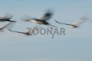Common cranes (Grus grus) flying. Gallocanta Lagoon Natural Reserve. Aragon. Spain.