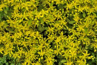 Schöne goldene Blumen der saftigen und medizinischen Anlage Sedum hybridum
