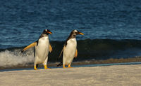 Gentoo penguins on a sandy coast