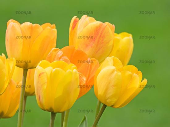 Viele gelbe Blüten einer Tulpe freigestellt auf grün